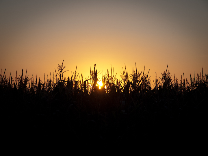 Sunset over corn